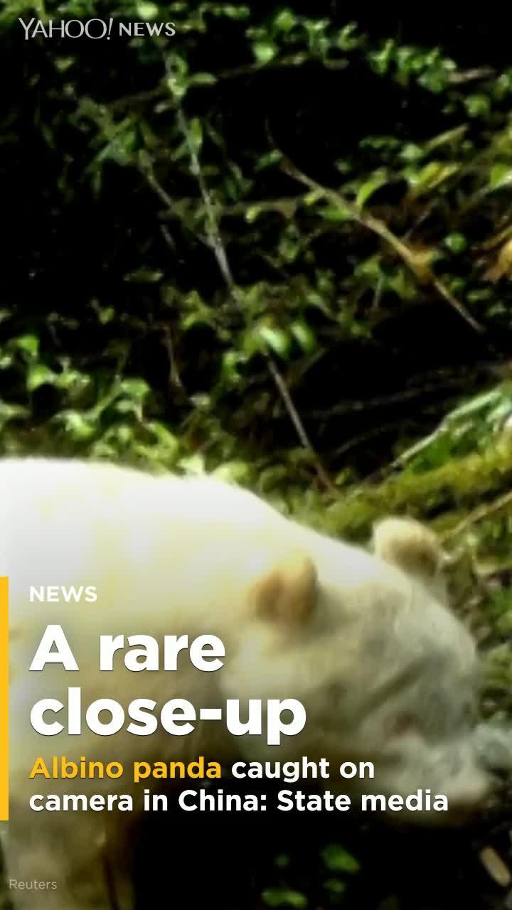 State media: Rare albino panda caught on camera in China