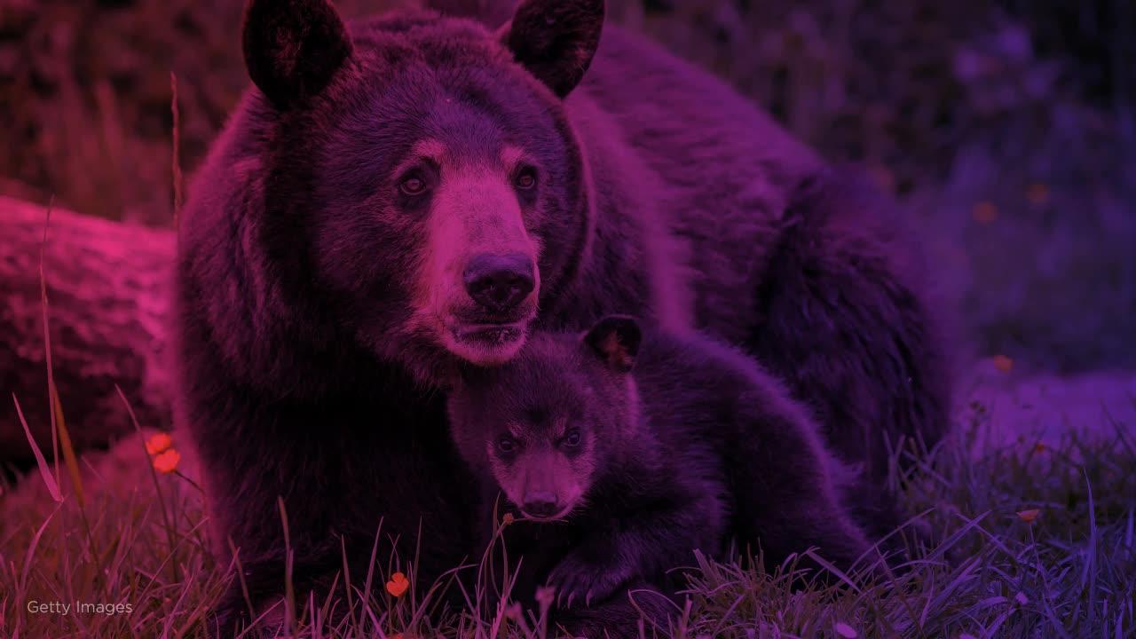 Black bear kills Minnesota woman in Canada in rare attack